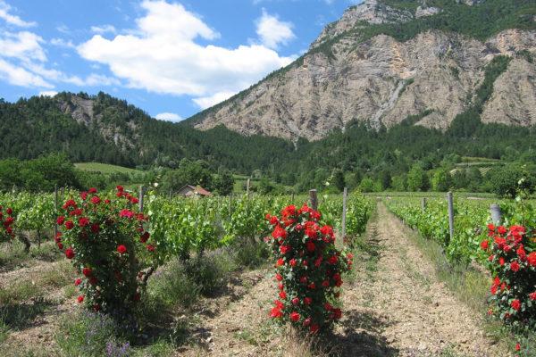 domaine du maupas - jérôme cayol - le vignoble 5